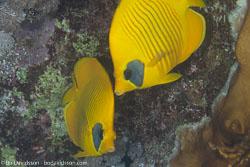 BD-120420-Fury-Shoal-5678-Chaetodon-semilarvatus.-Cuvier.-1831-[Bluecheek-butterflyfish.-Rödahavsfjärilsfisk].jpg